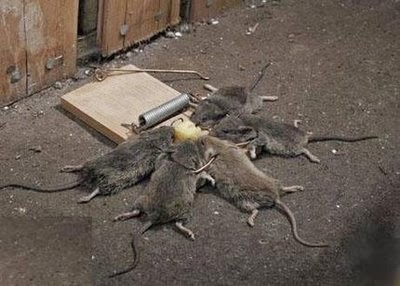 Rats caught in trap